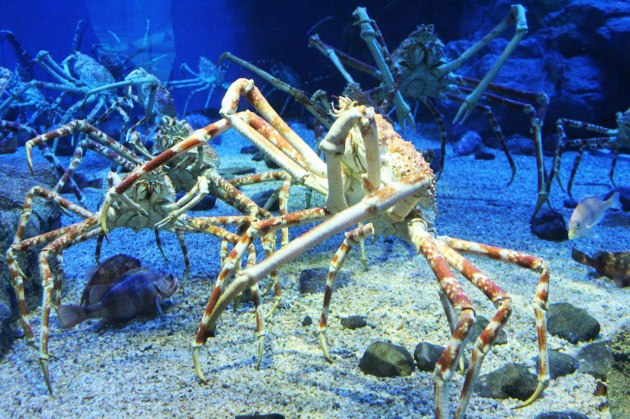 Japanese-Spider-Crab-Osaka